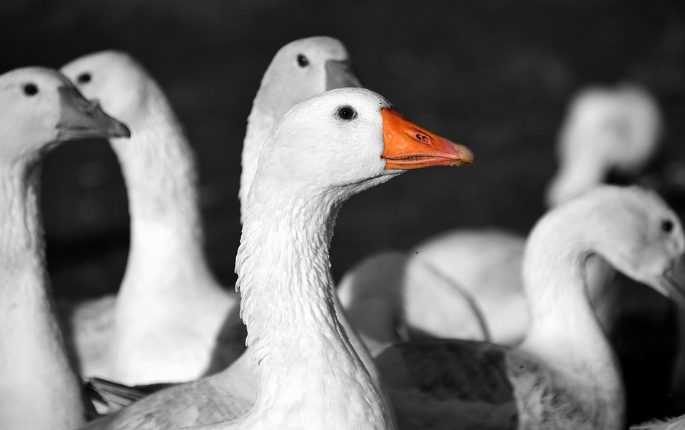 geese-1847888_960_720